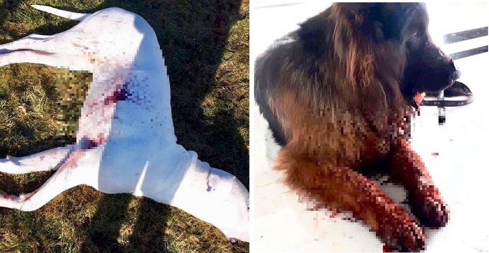 Podczas akcji pod Legnicą policjanci jednego psa zastrzelili, drugiego postrzelili
