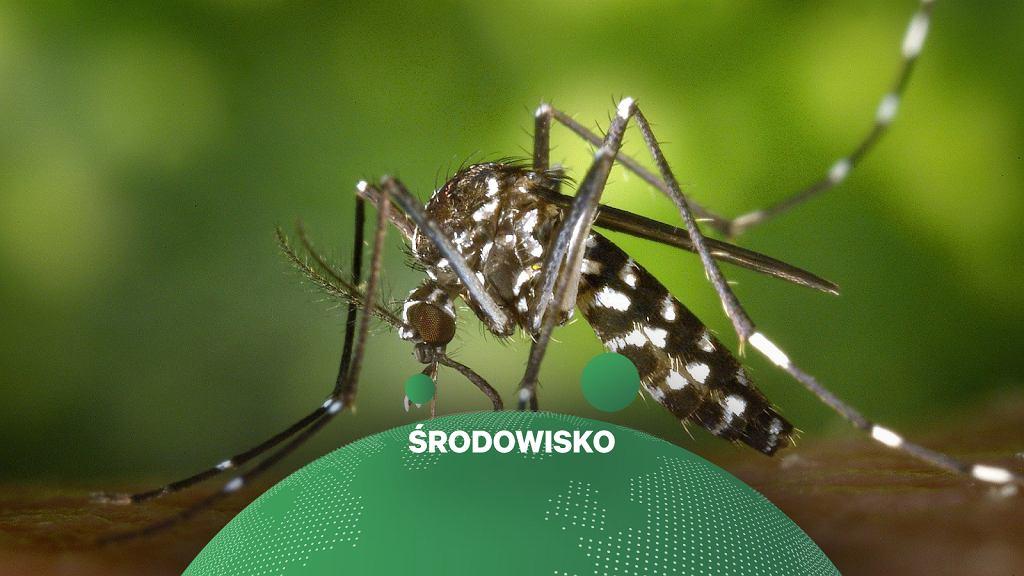 Na Florydzie w USA wypuszczono genetycznie zmodyfikowane komary