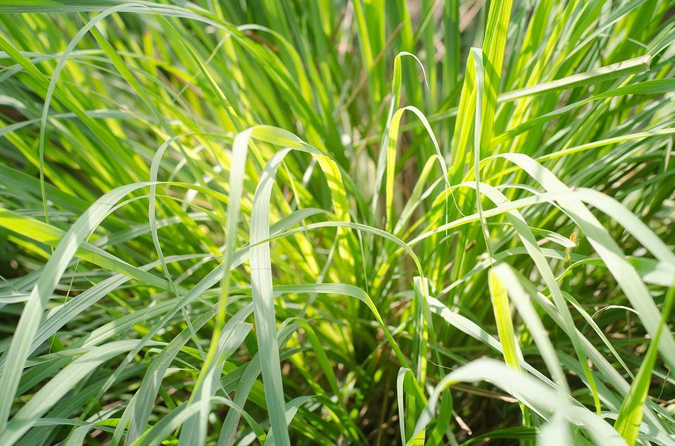 Rośliny odstraszające kleszcze