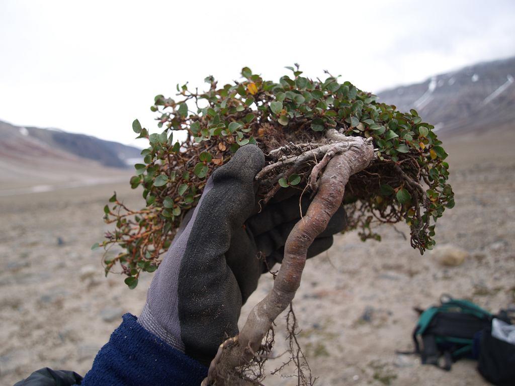 Krzewinka tundrowa - wierzba polarna - z centralnego Spitsbergenu