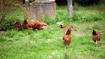 Rosja zawiadamia WHO o przypadkach ptasiej grypy H5N8 u ludzi