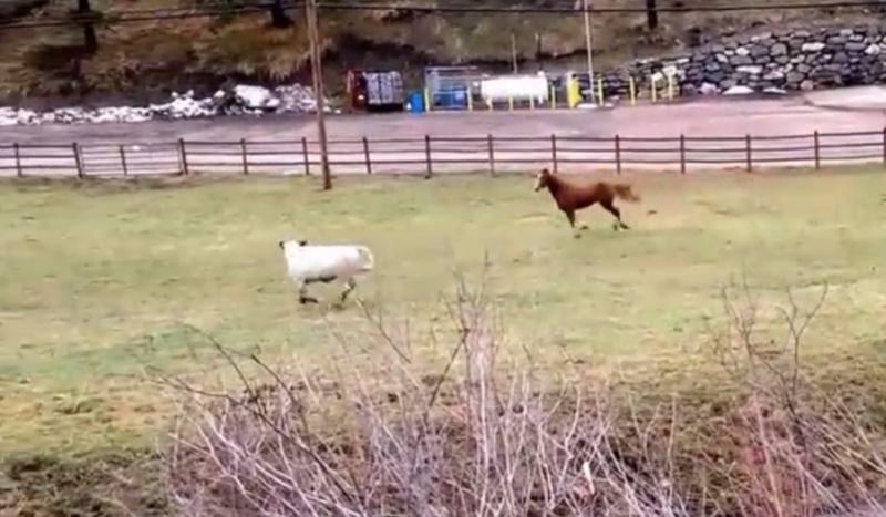 Krowa bawi się z koniem
