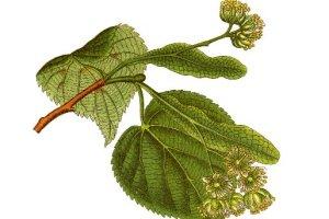 Gołąbki z 87 gatunków roślin