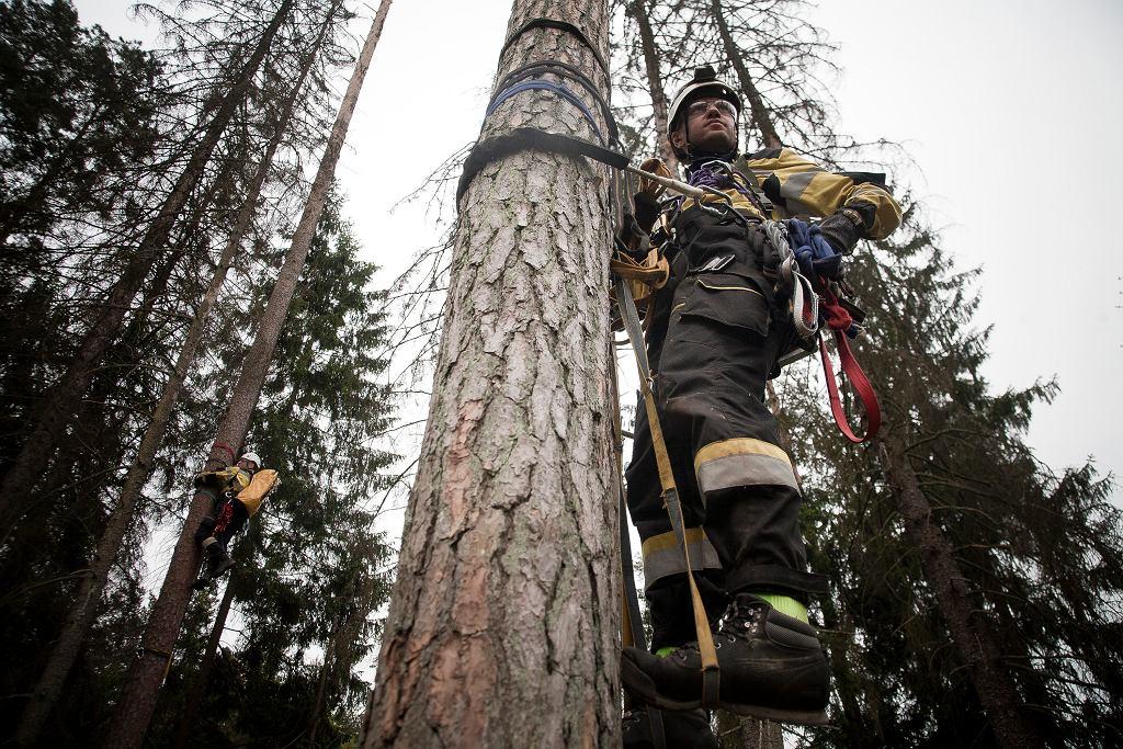 Puszcza Białowieska, okolice Czerlonki. Ekolodzy blokują wycinkę drzew
