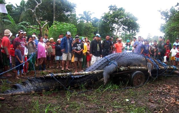 Mieszkańcy filipińskiej wsi we współpracy z zawodowcami złapali mierzącego 6,4 metra krokodyla. Kolos waży 1075 kg i potrzeba było 100 osób, aby wyciągnąć go z wody.