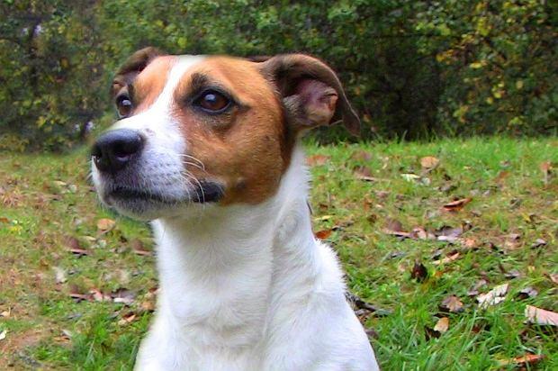 Petey - 4-letni Jack Russell Terrier, który odnalazł się prawie 1000 kilometrów od domu.