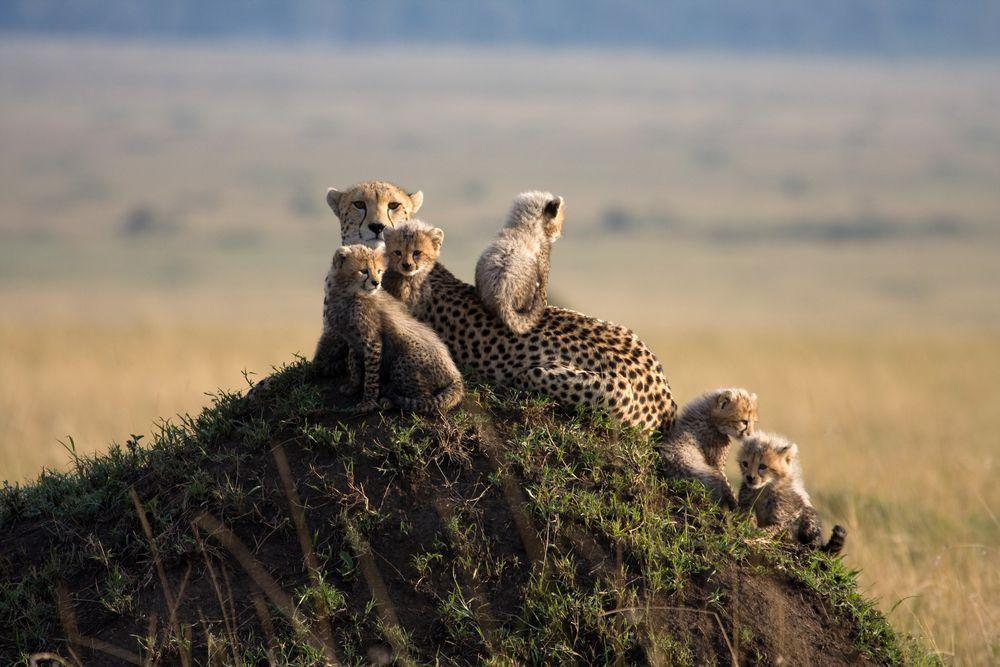 Wycieczka do Afryki - Kenia. Kenia to jedno z najlepszych miejsc na świecie do obserwacji dzikiej przyrody / fot. Shutterstock