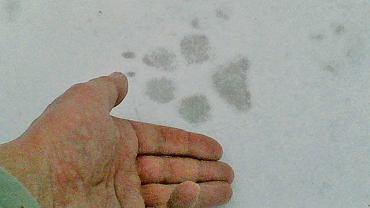 Trop wilka w mokrym śniegu.