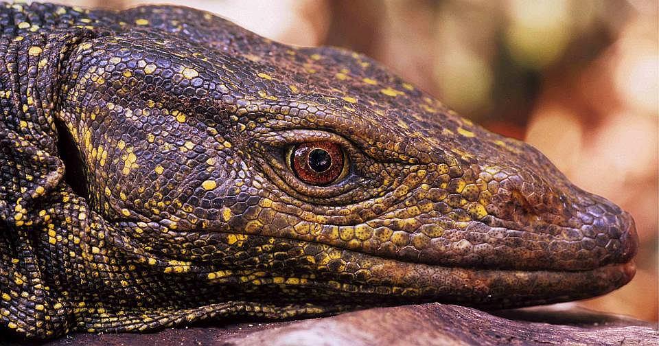 iguana in Polish - Portuguese-Polish Dictionary | Glosbe