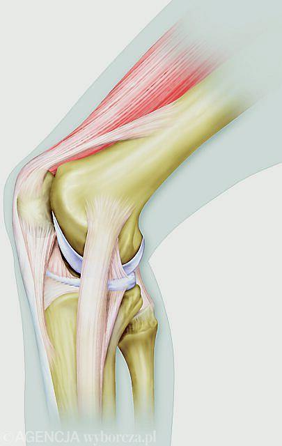 Kolano, budowa kolana, przekrój kolana, staw kolanowy