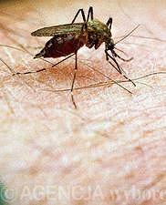 Wirus gorączki Zachodniego Nilu jest przenoszony przez komary.