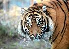 Świat ratuje tygrysy