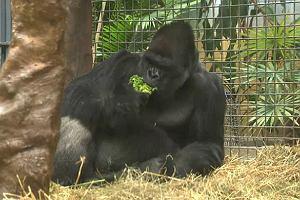 Pan goryl w zoo w Clevland