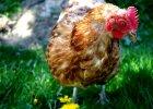 Wszystko, co powinniście wiedzieć o kurach... To naprawdę ciekawe!