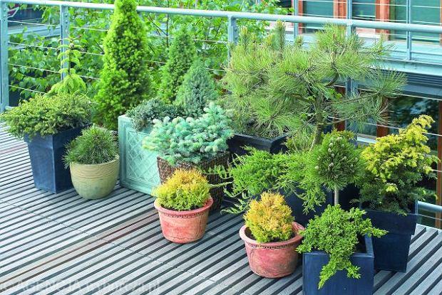 Iglaki na balkonie - jak to zrobić?