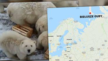 Nowa Ziemia przeżywa oblężenie Niedźwiedzi Polarnych