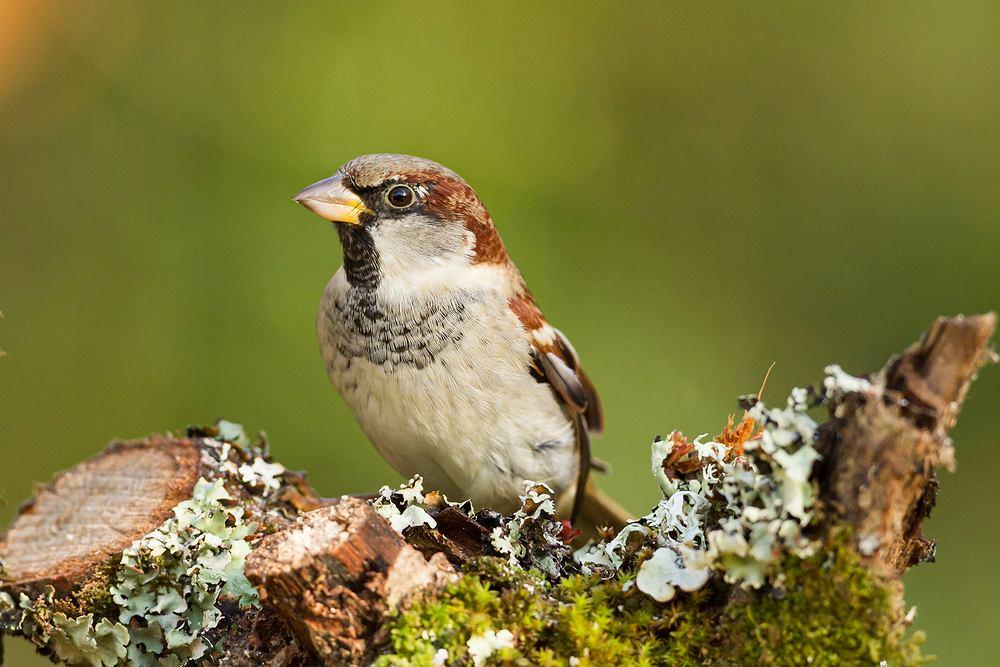 Ptaki, które zostają na zimę - wróbel. Zdjęcie ilustracyjne