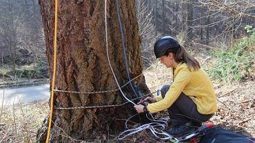 Podczas mierzenia wysokości drzewa, sprawdzono również grubość pnia
