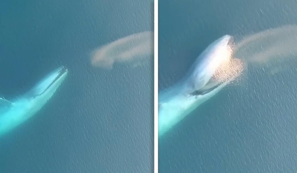 Płetwal Błękitny podczas polowania na ławicę krylu.