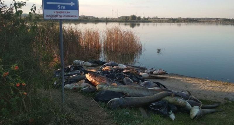 Legnica: Nad brzegiem Jeziora Koskowickiego leżą tysiące martwych ryb