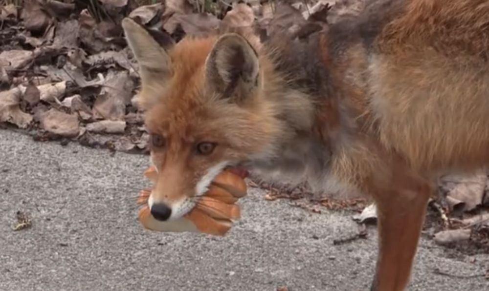 Sprytne lisy potrafią robić kanapki