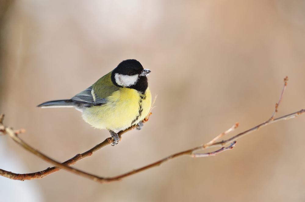 Ptaki, które zostają na zimę - sikorka bogatka. Zdjęcie ilustracyjne