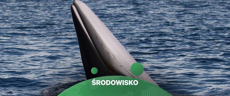 """Norwegia. Odbędzie się """"przerażający"""" eksperyment na wielorybach"""