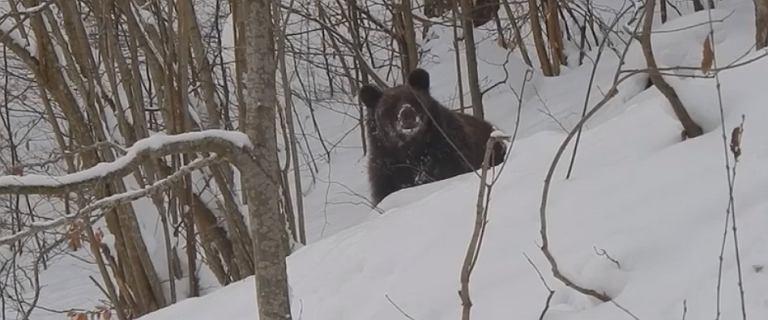 Leśnik spotkał w górach przebudzonego ze snu niedźwiedzia. ''Grzesiu, czemu ty nie śpisz?''