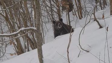 Wybudzony za snu niedźwiedź spotkany przez leśnika