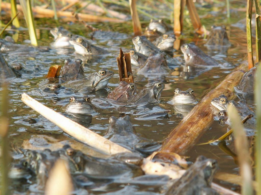 Żaby trawne gromadzące się podczas rozrodu w Veluwe w Holandii. Dobrze widoczne podgardla samców (fot. Piet Spaans / Wikimedia.org / CC BY-SA 2.5)