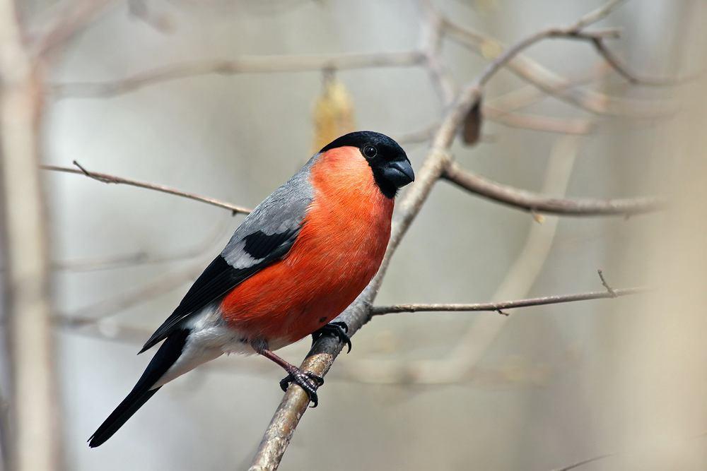 Ptaki, które zostają na zimę - gil zwyczajny