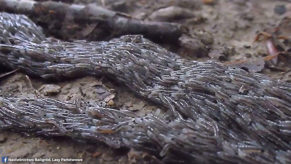 Pleń w Bieszczadach - co jest na filmie leśniczego z Nadleśnictwa Baligród