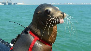 Lew morski US Navy w Bahrajnie. Czeka na komendę do przeszukiwania dna portu