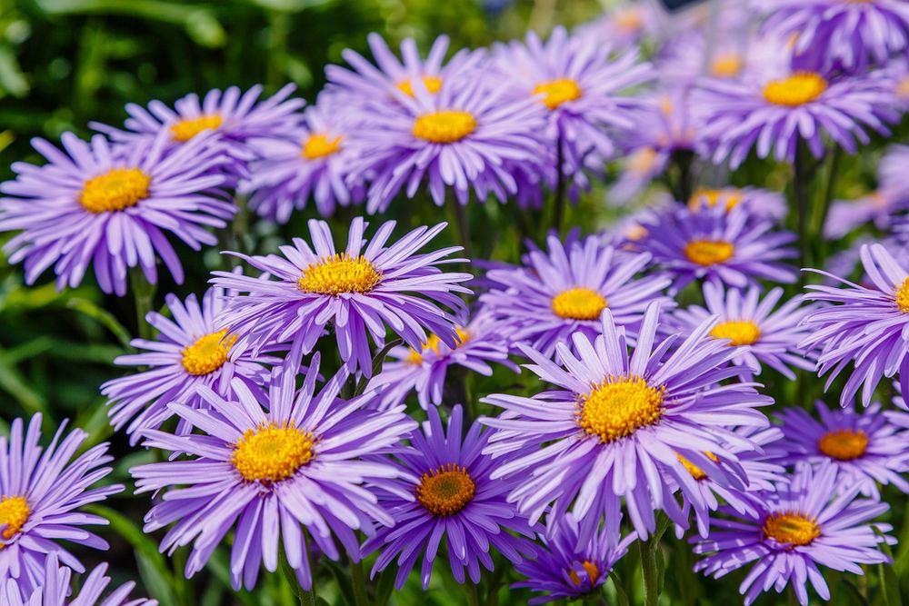 Kwiaty na działkę - astry. Zdjęcie ilustracyjne