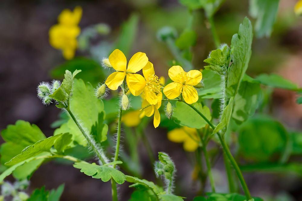 Jaskółcze ziele ma wiele właściwości leczniczych, w tym najbardziej popularne jest jego korzystne działanie w leczeniu kurzajek.