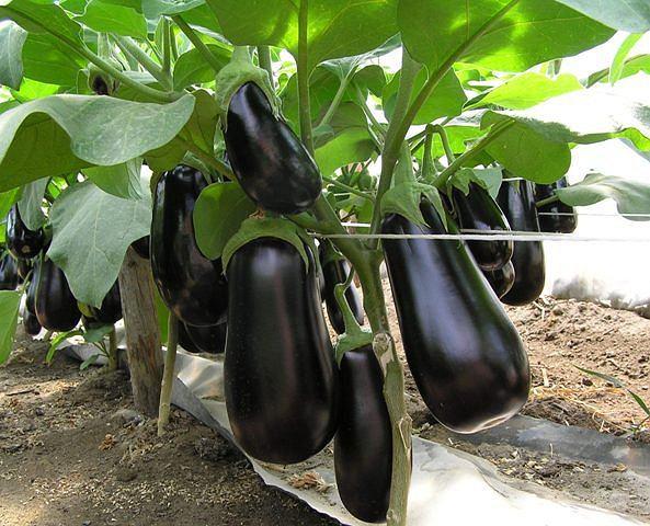 Bakłażan dostarcza znacznych ilości potasu, a także wapnia i magnezu.