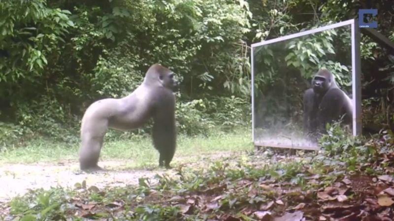 Goryl patrzy w lustro