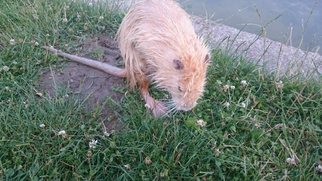 Nutria Sansa po kąpieli w jeziorku na Polu Mokotowskim