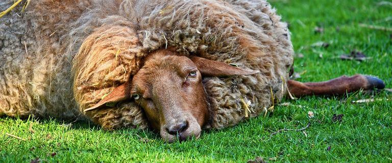 Australia. Owca Baarack nosiła na sobie 35 kilogramów wełny
