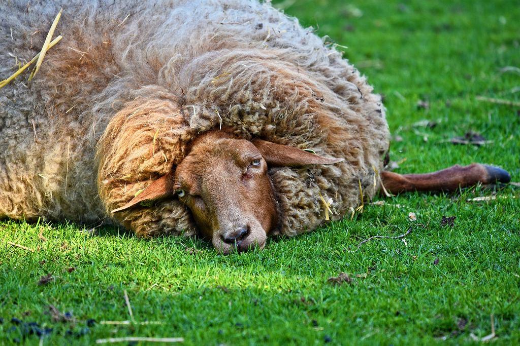 W Australii znaleziono owcę siłaczkę. Nosiła na sobie 35 kilo wełny