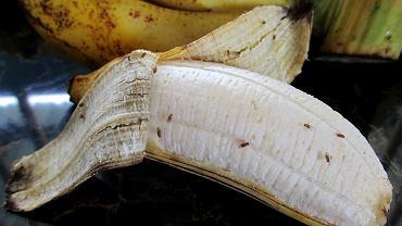 muszki owocówki, zdjęcie ilustracyjne