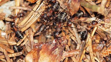 Mrówki / Zdjęcie ilustracyjne