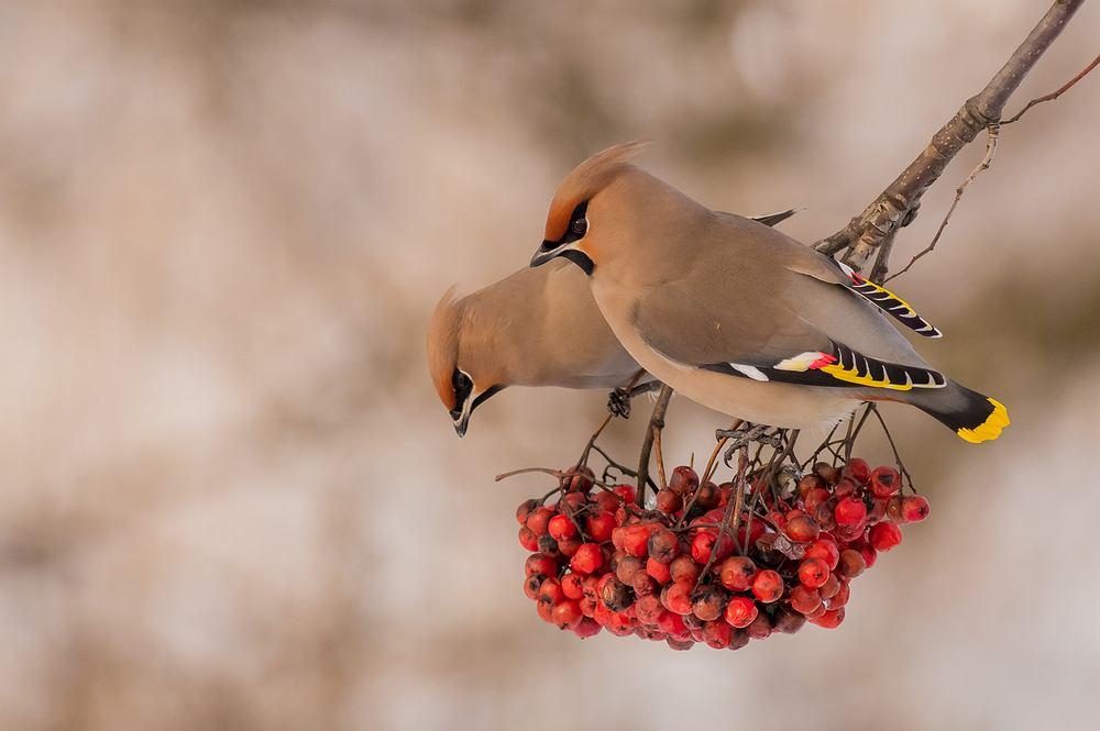 Ptaki, które zostają na zimę - jemiołuszka. Zdjęcie ilustracyjne