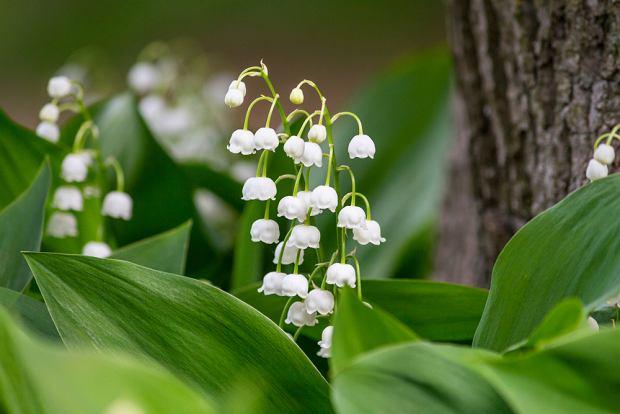 Kwiaty / rośliny niebezpieczne dla psa i kota: konwalia majowa. Zdjęcie ilustracyjne