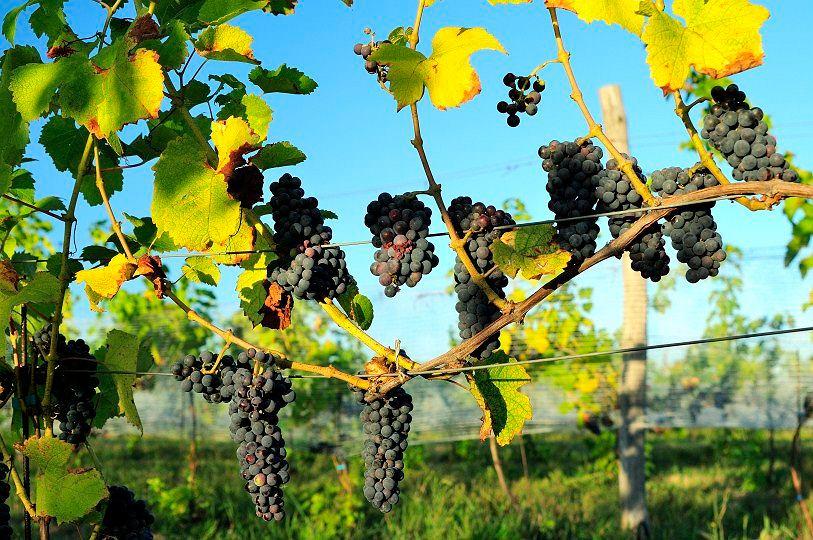 Miękinia. Największa winnica w Polsce