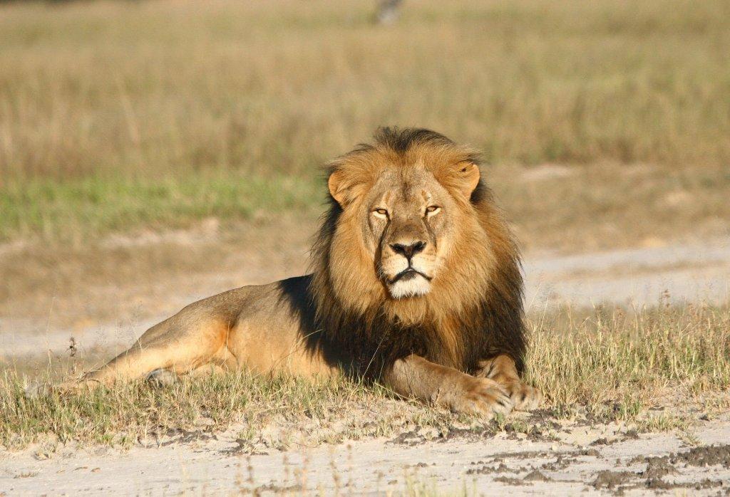 Cecil, najsłynniejszy lew w Zimbabwe