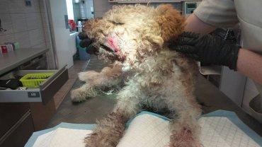 Zaatakowany deską pies