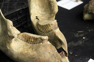 kości dinozaurów z datowaniem radiowęglowym