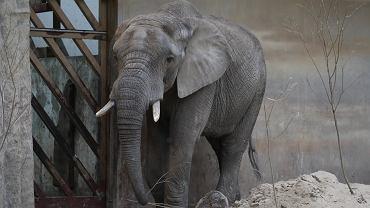 Warszawskie zoo poda słoniom olejek CBD