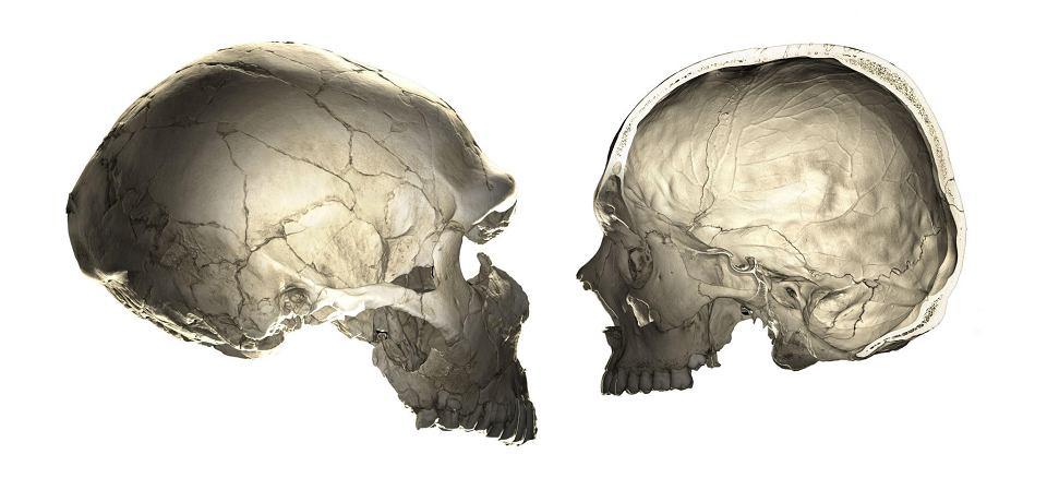 Czaszki neandertalczyka i człowieka współczesnego